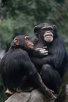 616503010 endangered captive chimpanzees pan troglodytes members of the great ape family sit together on a rock zoo animals native to central and east africa