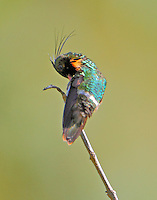 Male black-crested coquette preening