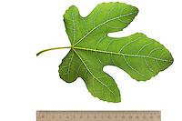Feige, Echte Feige, Feigenbaum, Feigenblatt, Ficus carica, Fig, Figuier, Figuier comestible, Figuier commun. Blatt, Blätter, leaf, leaves