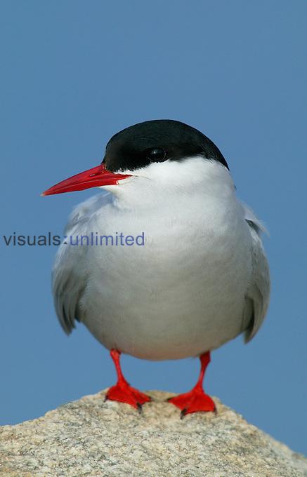 Arctic Tern ,Sterna paradisaea,.