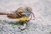 Great Crested Flycatcher (Myiarchus crinitus) eating worm. Great Lakes Region, May.