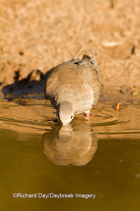 01081-01209 Mourning Dove (Zenaida macroura) drinking at water Starr Co., TX