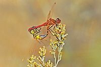 362740005 a mated pair of wild saffron-winged meadowhawks sympetrum costiferum perch on a desert plant near de chambeau ponds mono county california united states