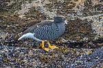 Falkland Islands / Islas Malvinas (British Overseas Territory), kelp goose (Chloephaga hybrida)