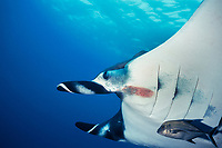 black jack, Caranx lugubris, picks parasites off manta ray, Manta birostris, at cleaning station, San Benedicto, Revillagigedos (Socorro) Islands, Mexico, Pacific Ocean