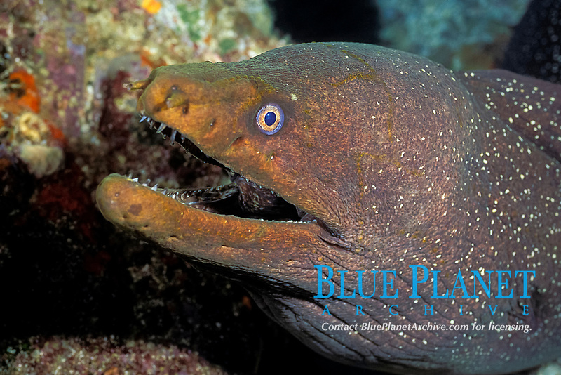 fine-spotted moray eel, Gymnothorax dovii, Galapagos Islands, Ecuador (Eastern Pacific Ocean)