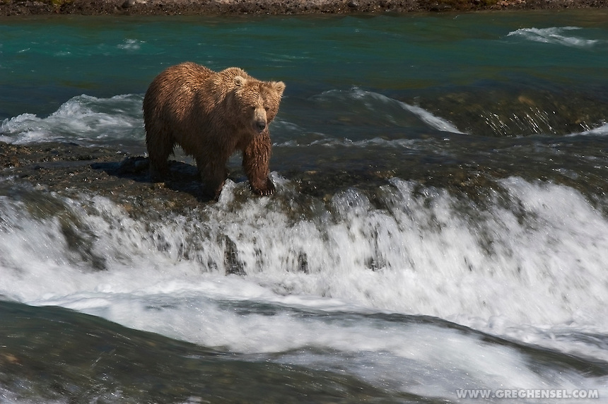Coastal Brown Bear (Ursus arctos)  waits patiently while fishing for Salmon in the rapids at McNeil Falls, McNeil River State Game Sanctuary, Alaska.