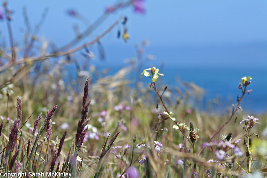 Wildflowers, including wild radish and English Plantain, and grasses with purple seedheads on a bluff at MacKerricher State Park near Fort Bragg on the Pacific coast of Mendocino County in Northern California.
