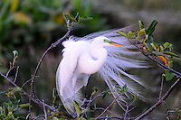 Great Egret photographed at Wakodahatchee Wetlands, Delray Beach, Florida.