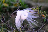 Great Egret photographed at Wakodahatchee Wetlands, Delray Beach, Florida.