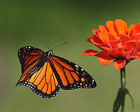 Monarch Butterfly on approach..