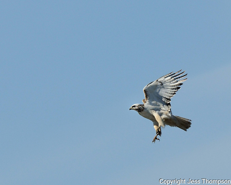 White-tailed Hawk 1100
