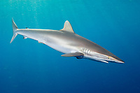 Silky Shark (Carcharhinus falciformis) . Galveston, Texas, Gulf of Mexico.
