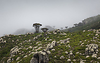 Landscape in Skand, the Haghier mountains. Studies have shown that the presence of fog in the highlands is crucial for Socotra's vegetation, as it represents up to 77% of total moisture received. Species like the Dragon Blood tree use their upraised branches to capture the mist. Socotra's climate has been crucial in the evolution of its flora and fauna, leading to its outstanding biodiversity.