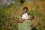 Mercy Mwanza and her four-month old daughter Modesta harvest peas in Edundu, Malawi. They and other farmers in the village have benefited from intercropping and crop rotation practices they learned from the Malawi Farmer-to-Farmer Agro-Ecology project of the Ekwendeni Mission Hospital AIDS Program, a program of the Livingstonia Synod of the Church of Central Africa Presbyterian.