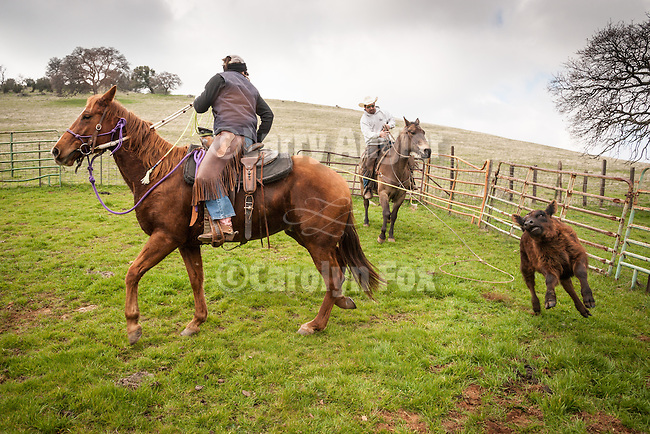 Cowboys at the Dell'Orto pasture near Sunnybrook, Calif. spring cattle marking and branding