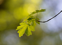 Field Maple - Acer campestre, spring leaf burst, Stoke Woods, Bicester, Oxfordshire owned by the Woodland Trust
