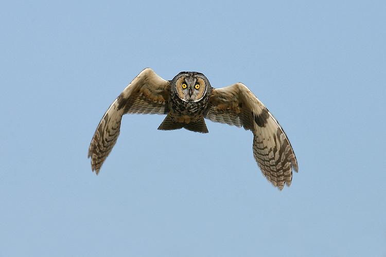 Long-eared Owl - Asio otus