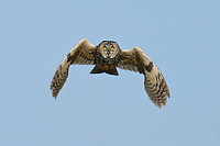 Long-eared Owl - Asio otus