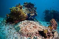 A Tasselled wobbegong, Eucrossorhinus dasypogon, blends into the rubble and sand bottom between coral bommies. This carpet shark is perfect ambush predator. Waigeo, Raja Ampat, Papua, Indonesia, Pacific Ocean