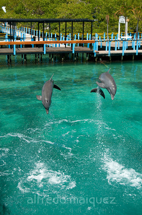 Common Bottlenose Dolphin show (Tursiops truncatus) Oceanarium, San Martin de Pajarales island, Rosario islands, Cartagena de Indias, Colombia, South America.