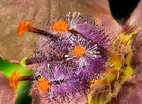 closeup,close up,close-up,close ups,close-ups,close ups,closeups,extreme close-up,macro,garden,gardens,flower,flowers,plant,plants,growth,growing ,botanic,botanics,botanical,botany,flowering plants,flowering plant, ,flora,floras,floral,bloom,blooming,blooms, blossoms, botanical garden,horticulture,landscaping,flower garden,stamen,pistil,petal<br />,petals<br />Verbascum hybrid Southern Charm