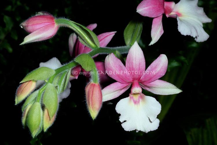 Calanthe Malica, orchid primary hybrid (vestita x rubens)