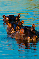 Three hippos peering above the water in a pond near Kwara Camp, Okavango Delta, Botswana.