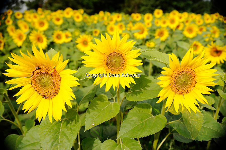 A sunny field of sunflowers.
