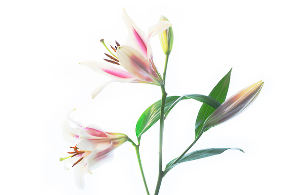 High key image of pink and white lilies