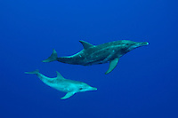 Rough-toothed dolphin  [Steno bredanensis] rarely occur close to shore, with the exception of tropical areas that have a steep drop into deep open ocean, such as off the Big Island of Hawaii . mammal endangered protected horizontal Delphinidae