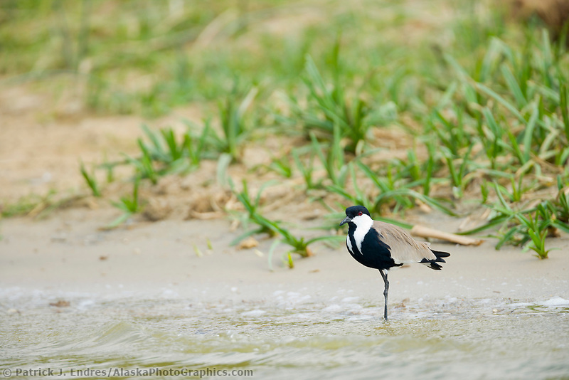 Plover, Kazinga Channel, Queen Elizabeth National Park, Uganda, East Africa
