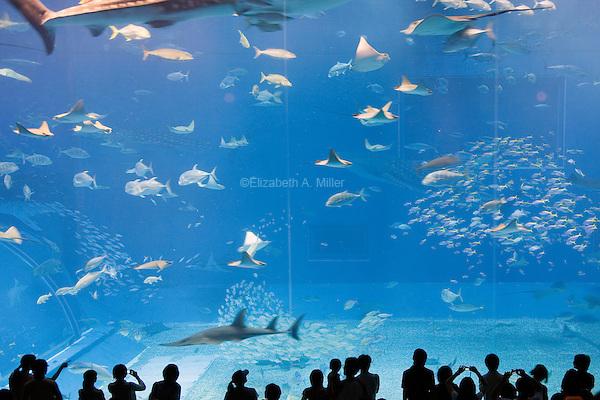 Manta rays, whale sharks, yellow-fin tunas, and bonito swim in schools in the Kuroshio Sea display at the Okinawa Churaumi Aquarium at Ocean Expo Park.