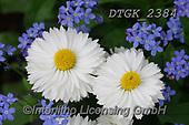 Gisela, FLOWERS, BLUMEN, FLORES, photos+++++,DTGK2384,#f#, EVERYDAY