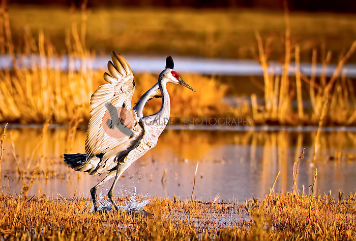 Sandhill Crane landing at sunset at Bosque del Apache National Wildlife Refuge
