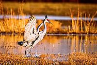 Sandhill Crane landing at sunset at Bosque del Apache National Wildlife Refuge