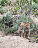 I was fortunate to see two active coyote dens on this trip.