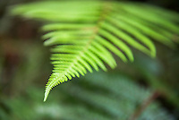 Fern in Waipoua Kauri Forest, Northland Region, North Island, New Zealand
