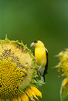 Closeup goldfinch on sunflower with seed