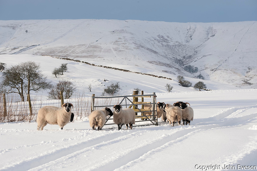 Lonk and Scottish Blackface ewes in snow looking towards Hell Clough and Fairoak Fell, Whitewell,Lancashire.