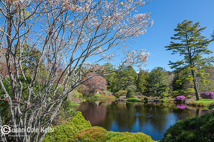 Springtime in the Asticou Azalea Gardens, Northeast Harbor, Maine, USA