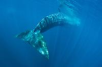 fin whale, Balaenoptera physalus, La Jolla, San Diego, California, USA, Pacific Ocean