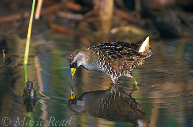 Sora (Porzana carolina) foraging, St. Marks National Wildlife Refuge, Florida, USA <br /> Slide # B47-41