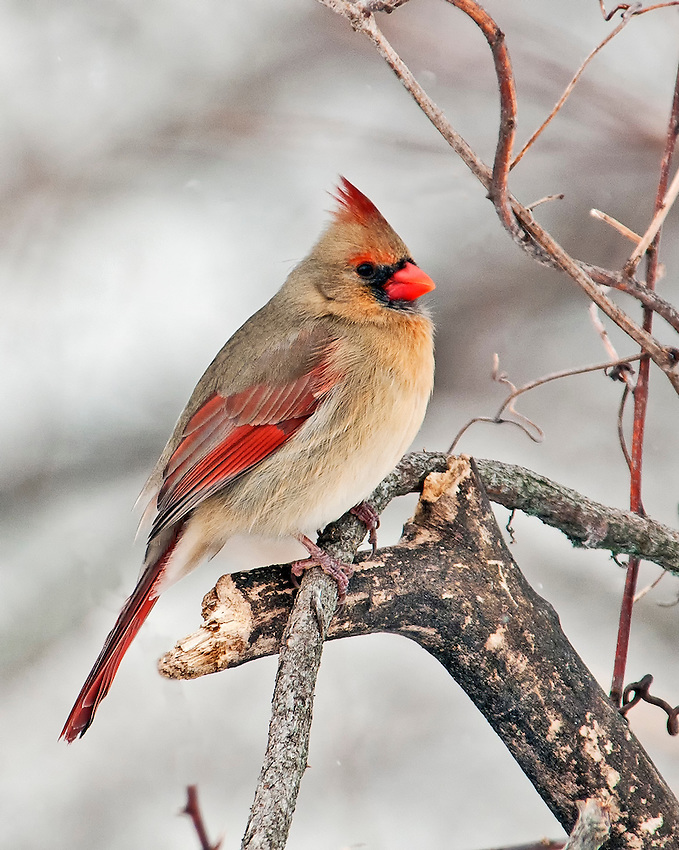 Female cardinal perched on branch in winter