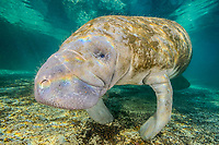 Florida manatee, Trichechus manatus latirostris, a subspecies of West Indian manatee, Three Sisters Springs, Crystal River National Wildlife Refuge, Kings Bay, Crystal River, Florida, USA