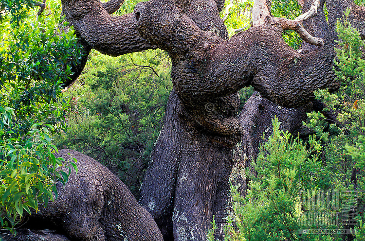 The gnarly trunk of an old koa tree set in a forest at Volcanoes National park on the Big Island of Hawaii.