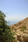 Salvadora Persica tree (Toothbrush tree, Mustard tree) in Nahal salvadora overlooking the Dead Sea