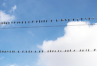 Free nature stock photos of large number of pigeons sitting in rows on high electric power cables overhead with blue sky and clouds in background.