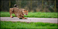 BNPS.co.uk (01202 558833)<br /> Pic: CalebHall/BNPS<br /> <br /> Gotcha... Mum Wilma shows the two young cubs how to pounce on prey.<br /> <br /> Two cheeky cheetah cubs have proven they were born to run - showing off their impressive speed for the first time.<br /> <br /> The six-month-old rare twins Poppy and Winston, the first cheetahs ever to be born at Longleat Safari Park in Wiltshire, have started developing the hunting skills they would need in the wild.<br /> <br /> Keepers at the wildlife park set up a speeding lure, similar to those used at greyhound races, to put the youngsters through their paces.