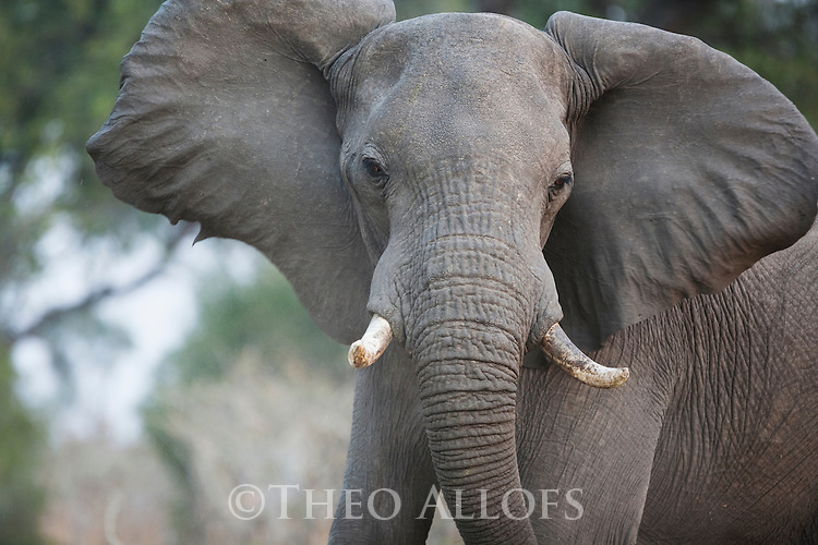 Botswana, Okavango Delta, Moremi Game Reserve,  African elephant bull  (Loxodonta africana) shaking head as a warning not to approach closer